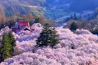 長野県 高遠公園の桜