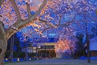京都府 サクラの二条城