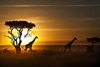 ケニア マサイマラ ナロク県 キリン