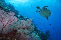 ニューカレドニア ポアンディミエ タイマイ(海亀)