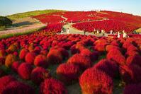 茨城県 夕日に輝くコキア みはらしの丘 国営ひたち海浜公園