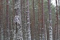 擬態する動物 カラフトフクロウ
