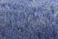 北海道 雪に覆われた針葉樹の森