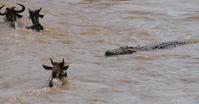 ケニヤ マサイマラ国立保護区 ヌー川渡りとワニ