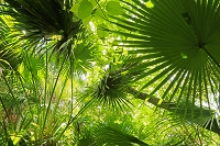 オガサワラビロウの森