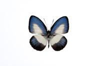 蝶 標本 タスキシジミ タイ