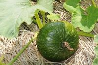 かぼちゃの露地栽培