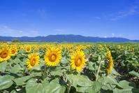 滋賀県 守山市 第一なぎさ公園 ひまわり畑