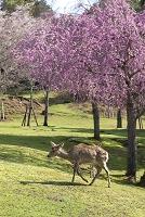 奈良公園の桜と鹿