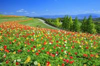 兵庫県 アイスランドポピー咲くあわじ花さじき