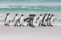オウサマペンギンの群れ