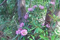 長野県 爺ケ岳南尾根の自然林とシャクナゲ