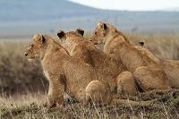 雌ライオン