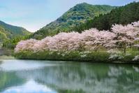 佐賀県武雄市 庭木ダムの桜