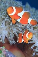 沖縄県 久米島 海中のイメージ カクレクマノミ