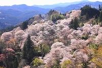 奈良県 吉野山 下千本七曲り周辺の桜