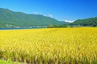 長野県 木崎湖と稲田