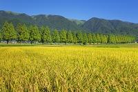 滋賀県 イネとメタセコイア並木