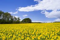 北海道 ヒマワリ咲くパレットの丘