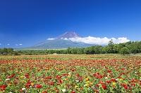 山梨県 富士山と百日草