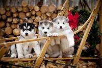 犬ぞりに乗るシベリアンハスキー子犬