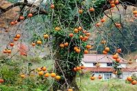 島根県 実る柿