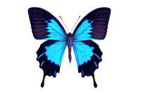 蝶 標本 オオルリアゲハ インドネシア