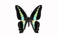 蝶 標本 アオスギアゲハ 日本