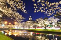 山形県 鶴岡公園の桜と致道博物館の夜景