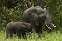 南アフリカ共和国 クルーガー国立公園 アフリカゾウ