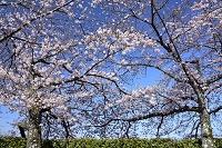 姫路 姫路城 桜と西の丸庭園