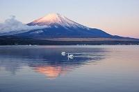 山梨県 山中湖からの朝焼けの富士山と白鳥