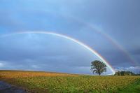 北海道 豆畑のポプラの木と虹 美瑛町
