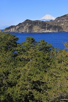 静岡県 黄金崎海岸から見る富士山と松林