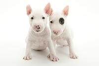 ブルテリア 2頭の仔犬