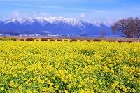 滋賀県 菜の花の第一なぎさ公園と比良山