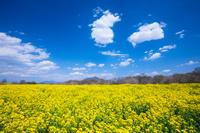 茨城県 下妻市 小貝川の菜の花と筑波山