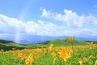 長野県 霧ヶ峰高原 ニッコウキスゲの花畑