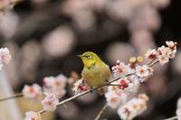 京都府 北野天満宮の梅とメジロ
