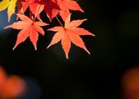 赤色のモミジの葉
