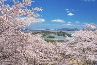 宮城県 西行戻しの松公園 松島の桜
