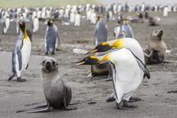 キングペンギンと南極オットセイ