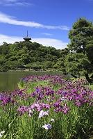 神奈川県 横浜市 三渓園 三重の塔 アヤメ
