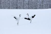 北海道 タンチョウのダンス