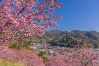 静岡県 河津桜咲く河津町