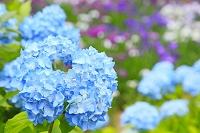 静岡県 虹の郷 紫陽花と花菖蒲