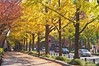 神奈川県 山下公園通りのイチョウ並木