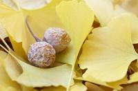 黄葉したイチョウの葉と銀杏