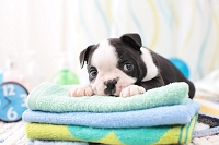 ボストンテリア 犬
