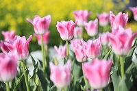 静岡県 チューリップの花畑